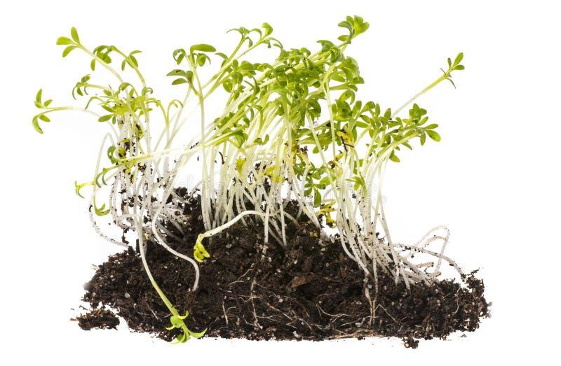 Cress sprouts Lepidium sativum royalty free stock image
