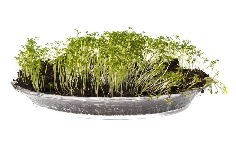 Cress sprouts Lepidium sativum stock photos