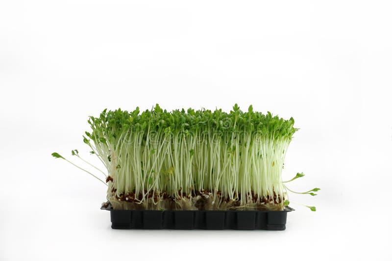 Cresson de jardin dans la vue de face de cuvette noire d'isolement sur le fond blanc photos stock