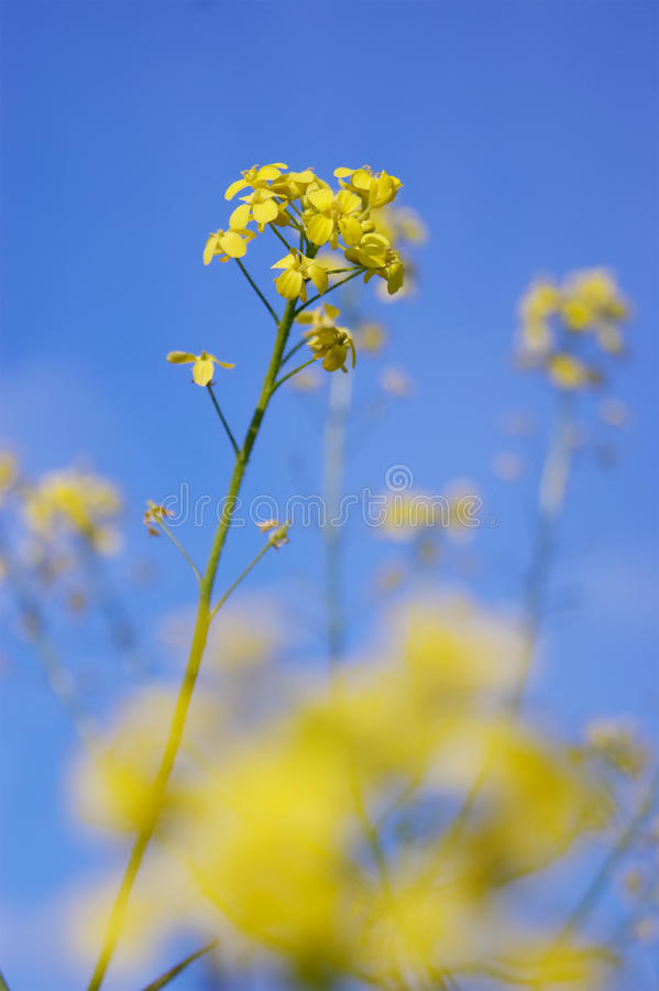 Cresson de Rocket (Barbarea vulgaris) photo stock