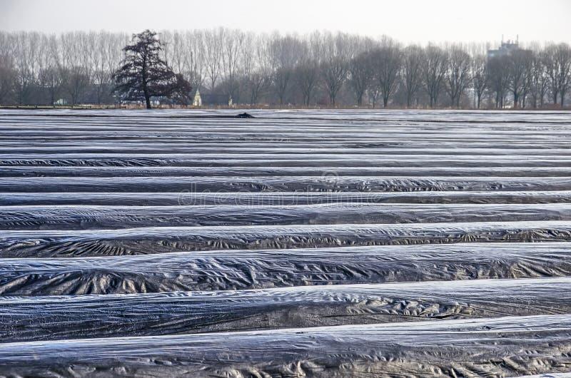 Creste ricoperte di plastica in un giacimento dell'asparago fotografia stock