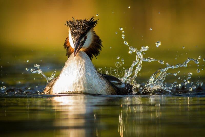 crested большой grebe стоковое фото rf