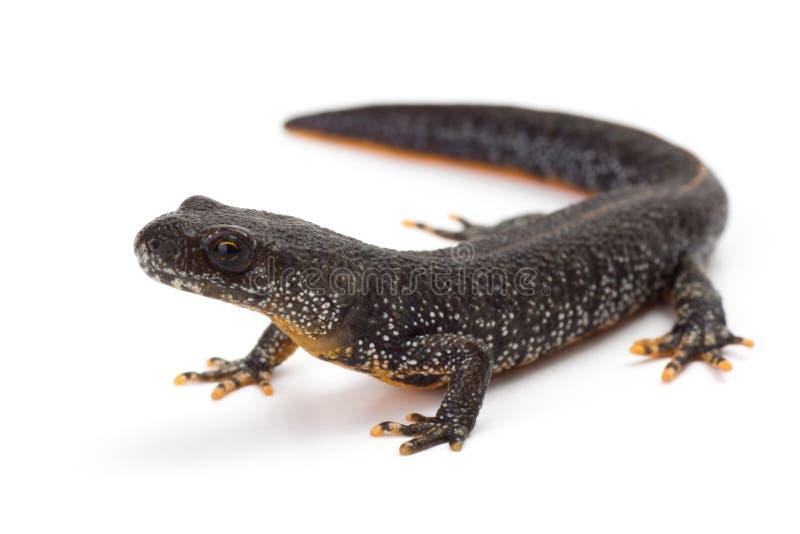 crested большой newt стоковое изображение