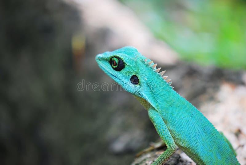 crested зеленая ящерица стоковые фото
