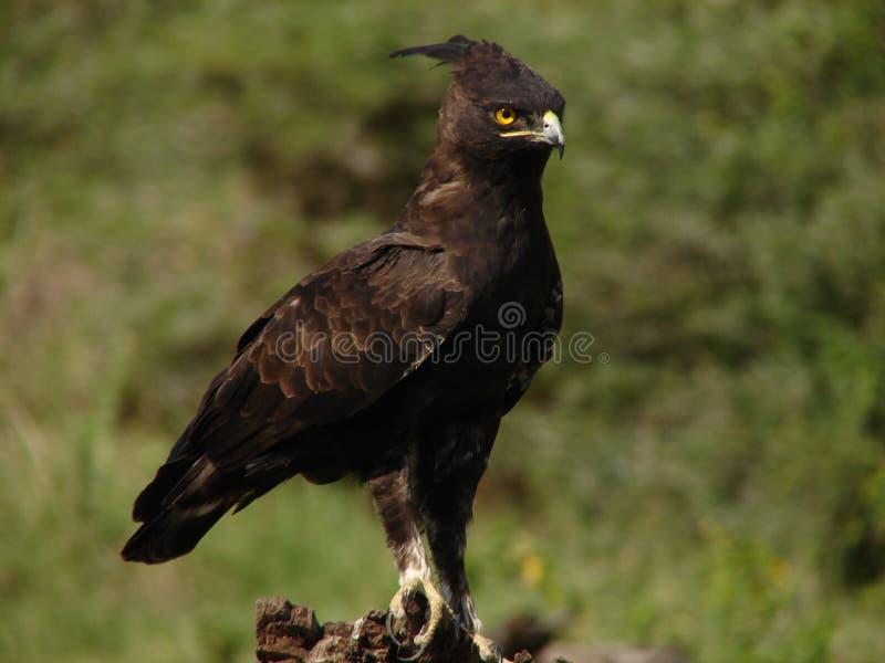 crested орел длинний стоковое изображение rf