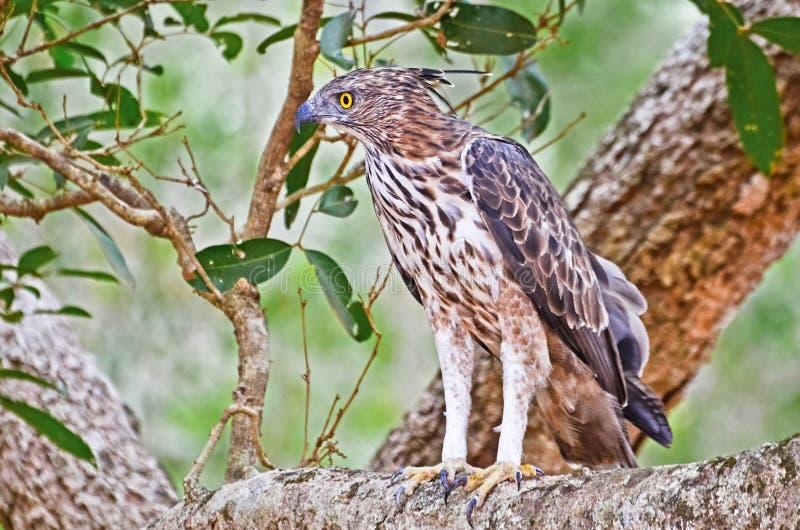 Crested орел хоука на национальном парке Wilpattu стоковое изображение rf