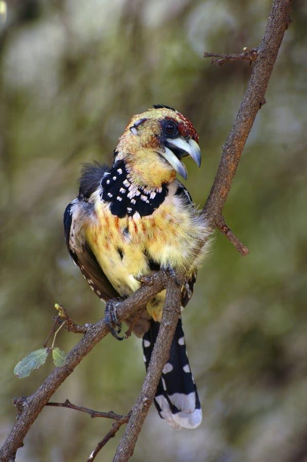 Download Crested Barbet stock image. Image of bush, bushveld, bill - 16511209