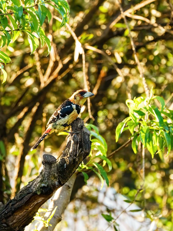 Crested Barbet (Trachyphonus vaillantii) stock photography
