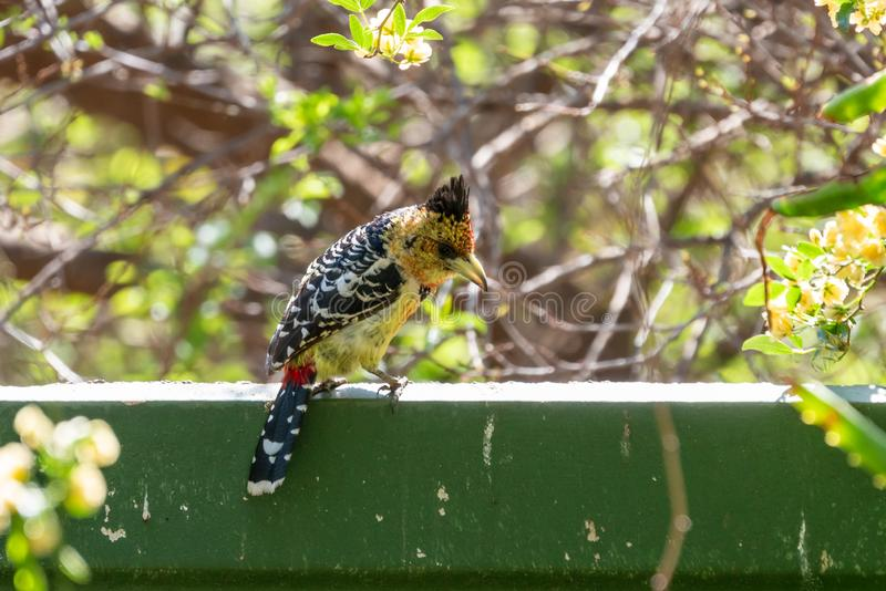 Crested Barbet (Trachyphonus vaillantii), taken in South Africa stock photography