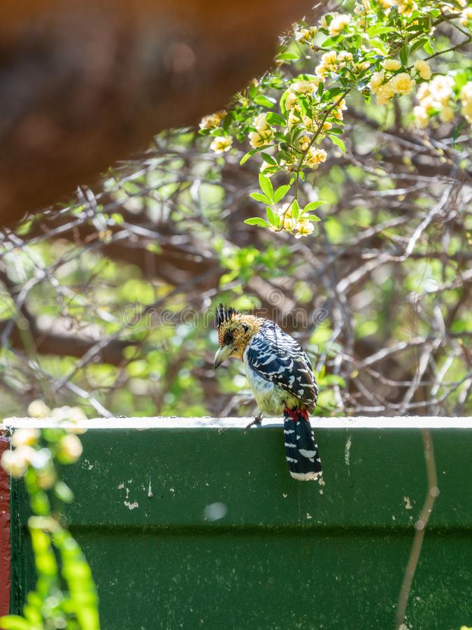 Crested Barbet (Trachyphonus vaillantii), taken in South Africa stock images