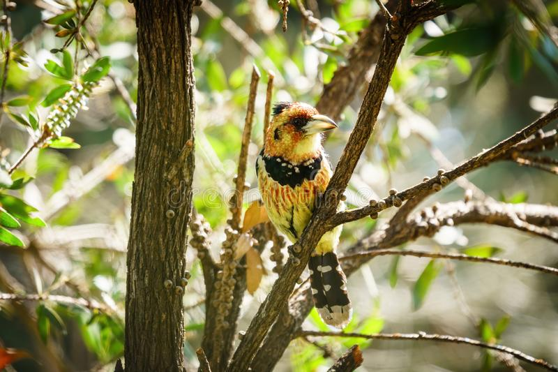 Crested Barbet (Trachyphonus vaillantii), taken in South Africa stock photo