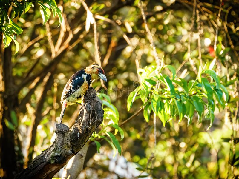 Crested Barbet (Trachyphonus vaillantii), taken in South Africa royalty free stock images