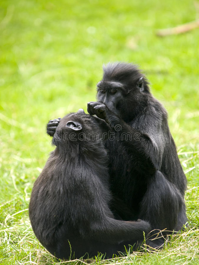 Free Crested Black Macaque Stock Images - 18668704
