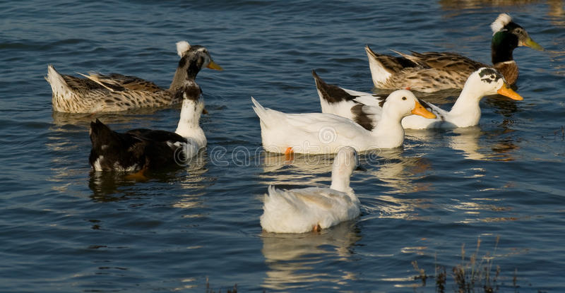 Crested Ducks. Domesticated crested ducks on lake royalty free stock photography