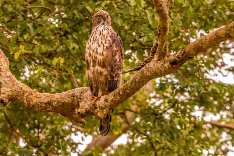 Crested eagle looking at the forest. At bird sanctuary with its brilliant look royalty free stock image