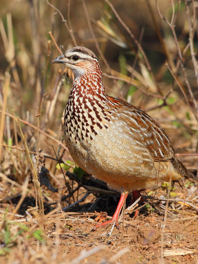 Download Crested Francolin stock photo. Image of south, crested - 20892264