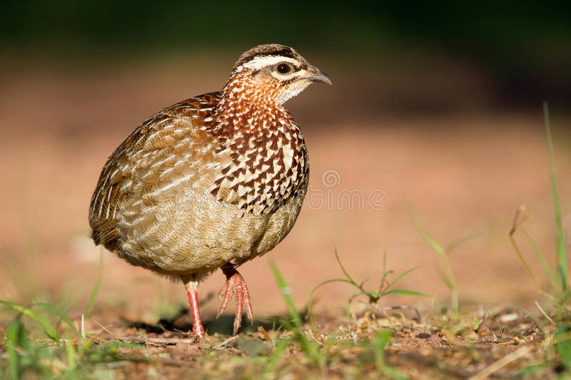 Crested Francolin. An adult crested francolin photographed at eye level royalty free stock image