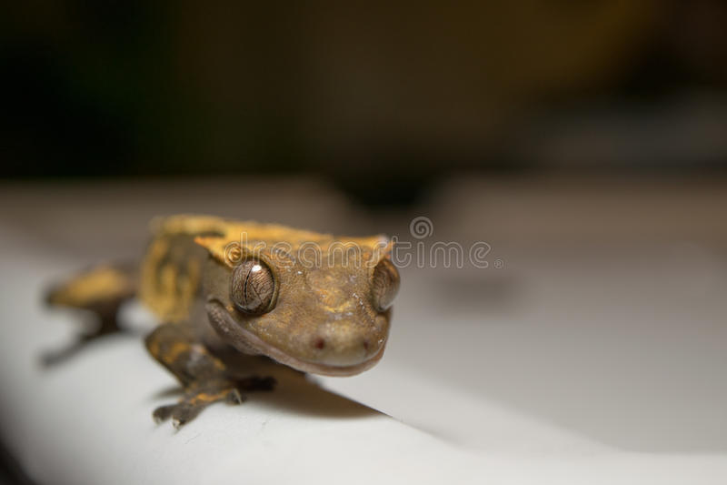 Crested Gecko Balanced stock photo