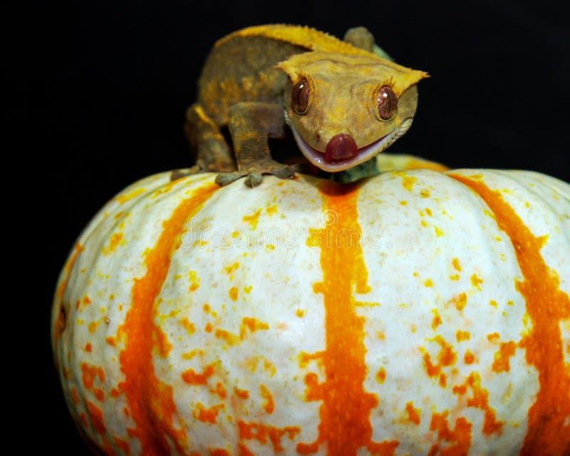 Crested Gecko bovenop een pompoen stock foto's