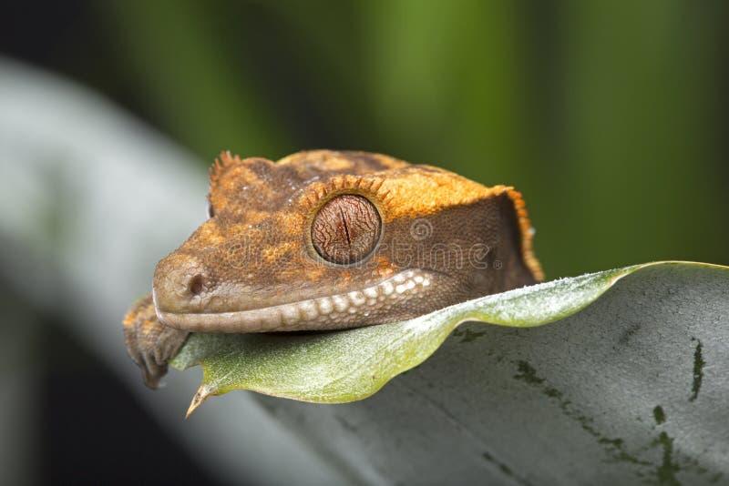 Crested Gecko stock photos