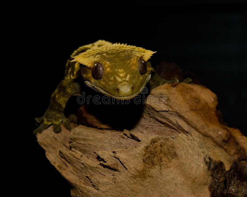 Crested Gecko is perched on top of a log royalty free stock images