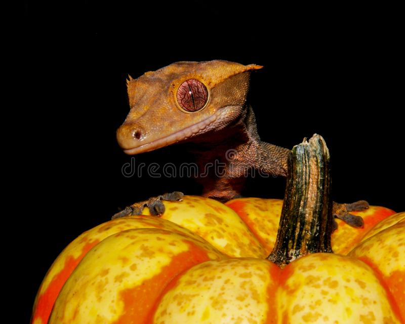Crested Gecko Pumpkin foto de stock royalty free