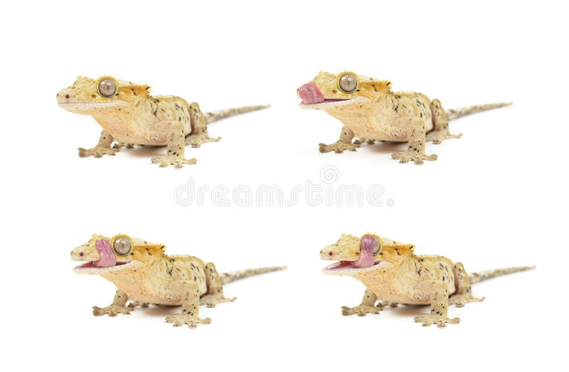 Crested Gecko. Several Crested geckos on white background royalty free stock images