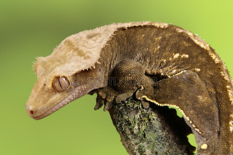 Crested Gecko. Studio Captured Image royalty free stock image