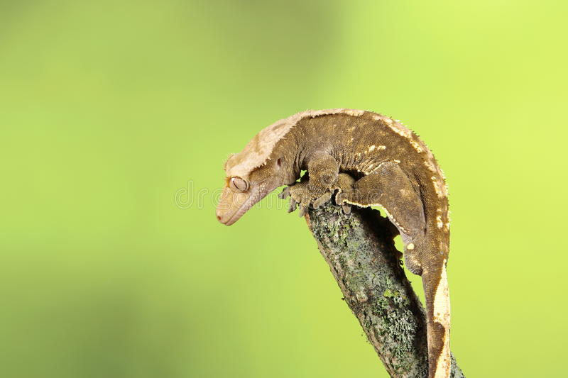 Crested Gecko. Studio Captured Image stock photos