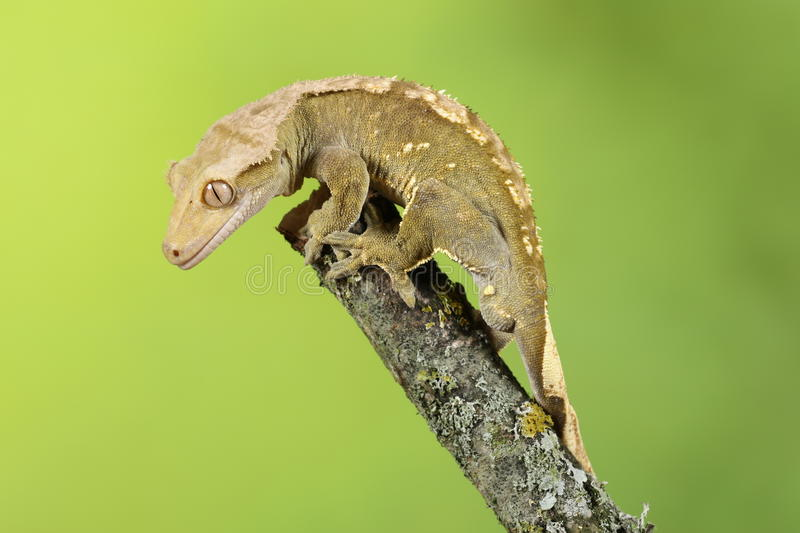 Crested Gecko. Studio Captured Image royalty free stock images