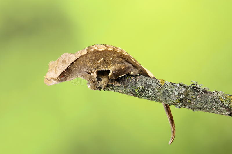 Crested Gecko. Studio Captured Image royalty free stock photography
