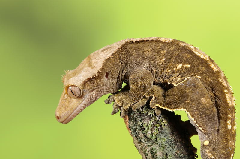 Crested Gecko. Studio Captured Image stock photography