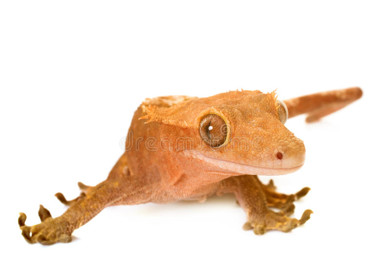 Crested gecko in studio. Crested gecko in front of white background stock photos