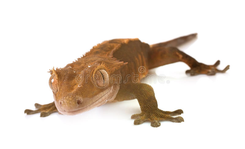Crested gecko in studio. Crested gecko in front of white background royalty free stock photo