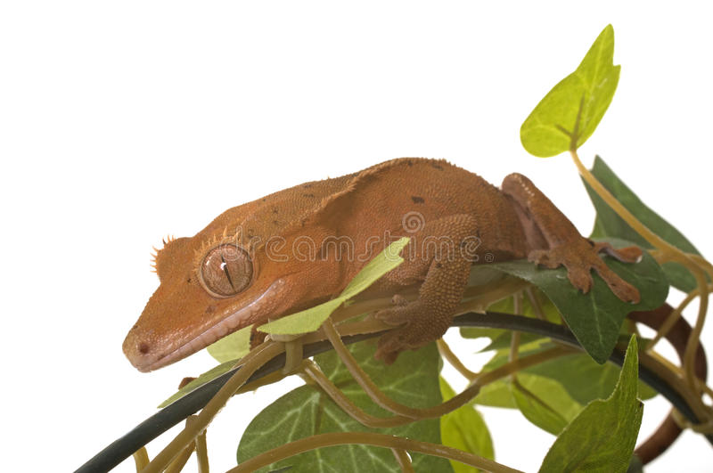 Crested gecko in studio. Crested gecko in front of white background royalty free stock photos