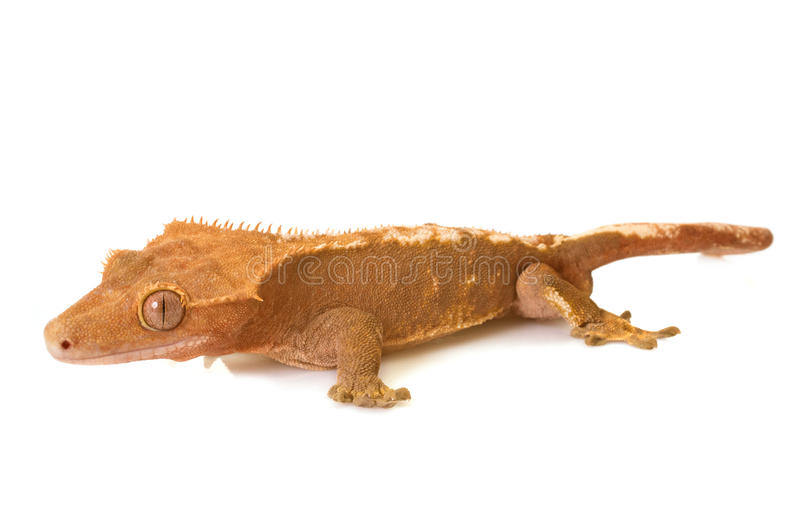 Crested gecko in studio. Crested gecko in front of white background royalty free stock images