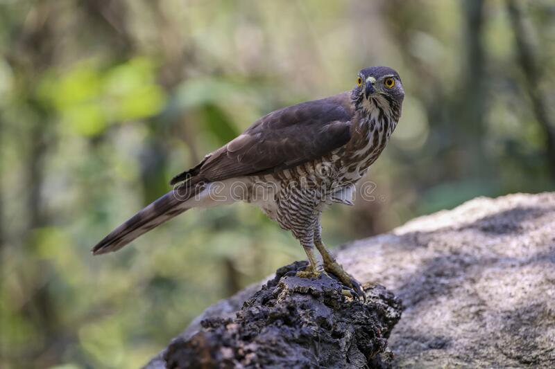 Crested Goshawk with yellow or orange eyes Occipital crest Gray head, gray-brown body, white neck, central line, black neck With a. Faded mustache band The royalty free stock photos