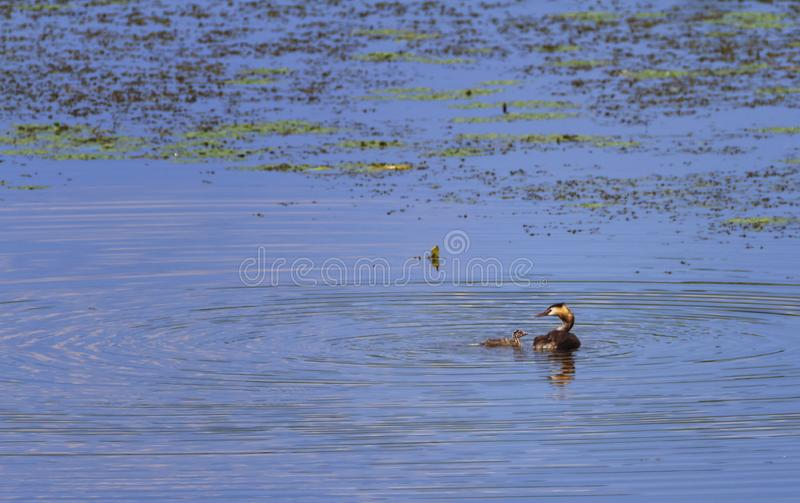 Crested grebe, podiceps cristatus, duck and baby, Kis-Balaton, Hungary. Crested grebe duck, podiceps cristatus, and baby on water lake, Kis-Balaton, Hungary stock image