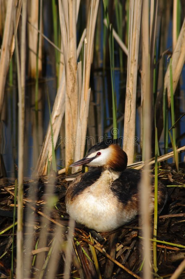 Download Crested Grebe on nest stock photo. Image of breeding - 13971130