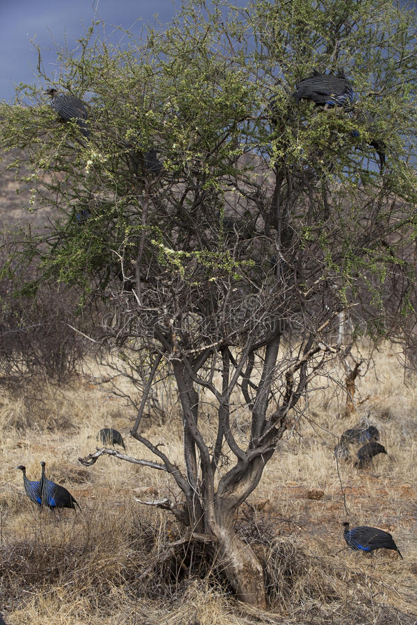 Download Crested Guineafowl In Kenia Stock Image - Image: 26764119