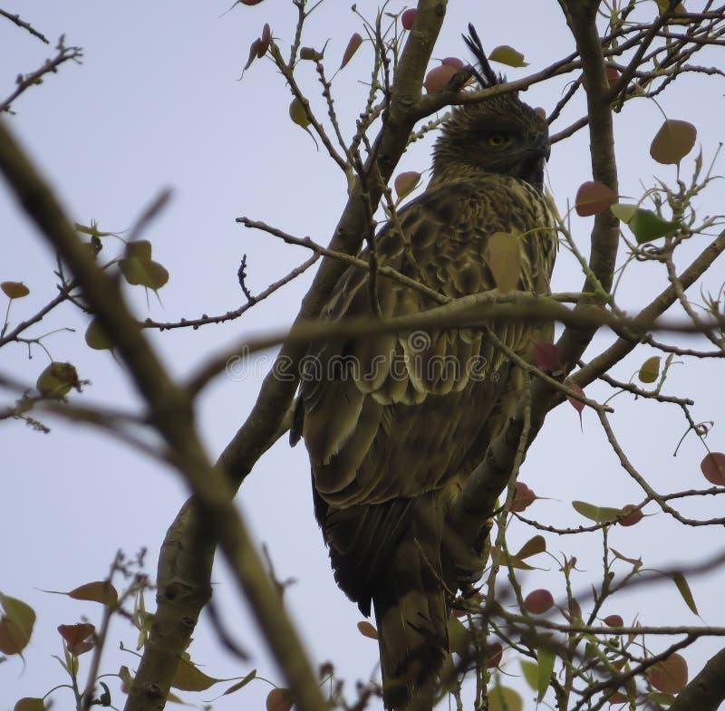 Crested Hawk Eagle. Dark Phase Crested Hawk Eagle on a Peepal tree at Sasan gir royalty free stock photography
