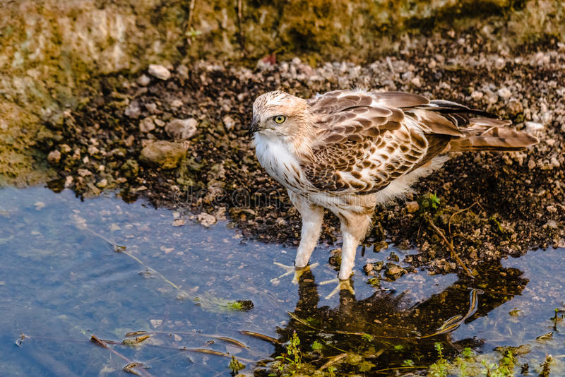 Crested Hawk Eagle. After drinking water royalty free stock photography