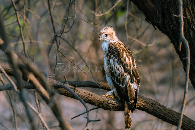 Crested Hawk Eagle perched. On a branch stock image