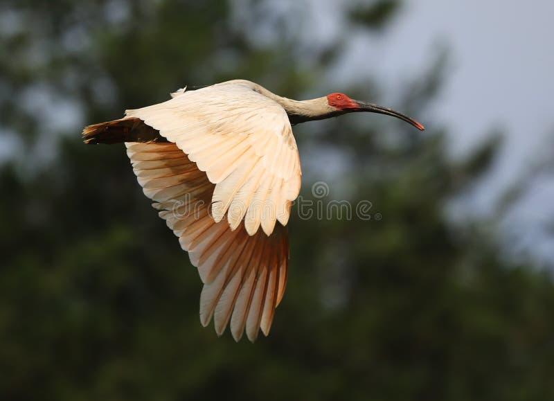 Crested Ibis stock photos