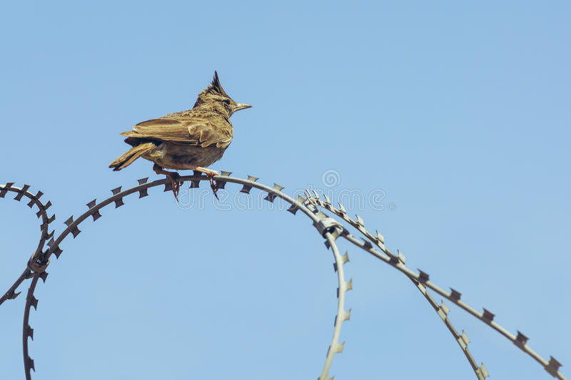 Crested lark on barbed wire royalty free stock photography