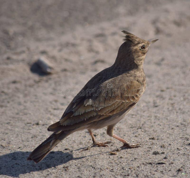 Crested lark royalty free stock image
