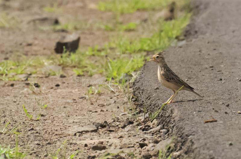 Crested Lark perching on Ground. Crested Lark on Ground and calling during monsoon in India stock photo