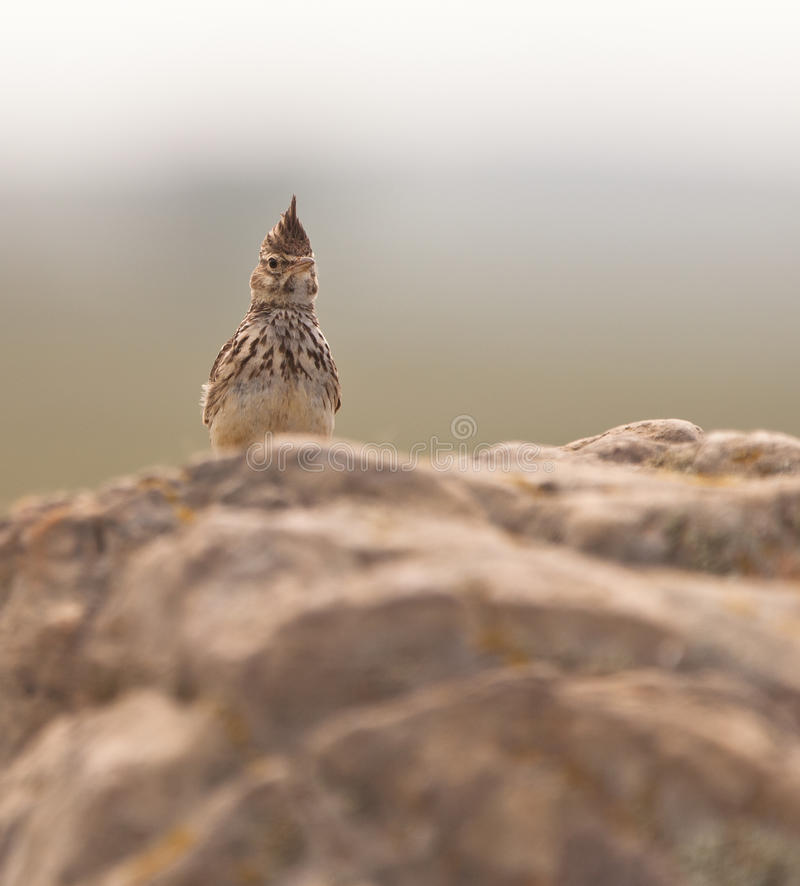 Crested Lark on guard royalty free stock photos