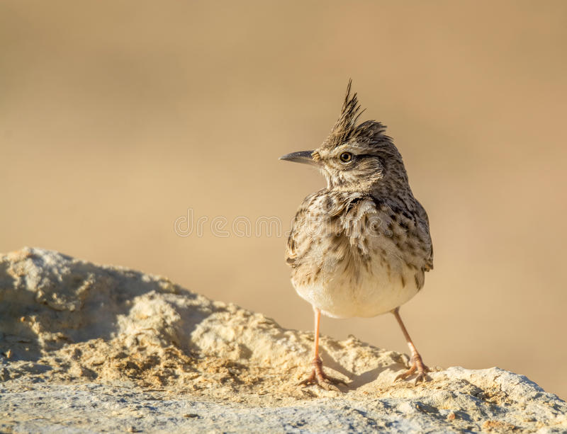 Crested Lark Portrait royalty free stock photography