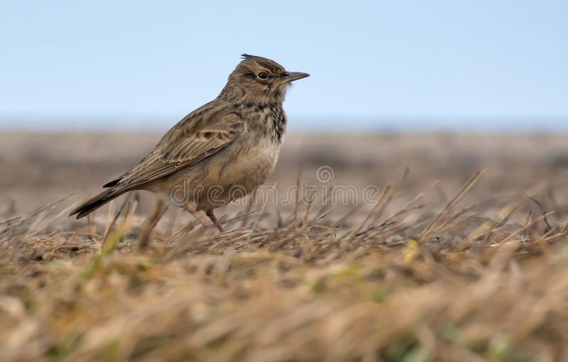 Crested Lark stands on the ground level with dry grass royalty free stock images